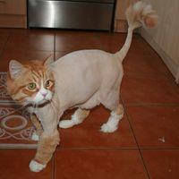 Пару слов о стрижке домашних кошек