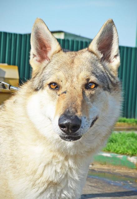 Вьюга (Волчица) А 43