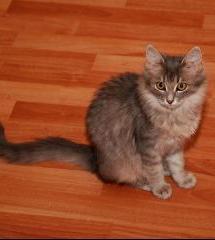 Дайкири-котенок