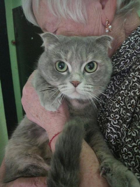 Кошка-метис шотландской вислоухой и шикарный рыжий котэ
