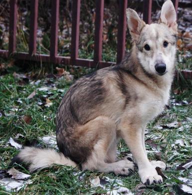 Волька-обычный пёс с необычной внешностью