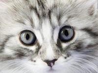 Лечение глазных болезней кошек