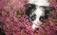 Поллиноз у собак
